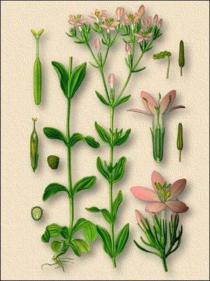 аптечные травы для очищения организма